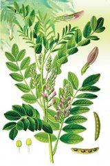 LEMNUL DULCE - planta imunitatii