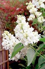 Sanatate cu flori - LILIACUL