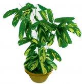 Ficusul