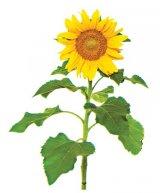 Seminţele de floarea-soarelui: pro şi contra