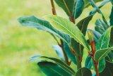Planta învingătorilor: DAFINUL
