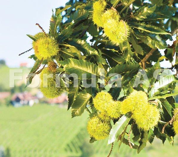 medicină cu flori de castan din varicoză)