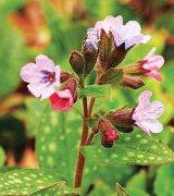 Tratamentul complet cu plante medicinale în răceală şi gripă