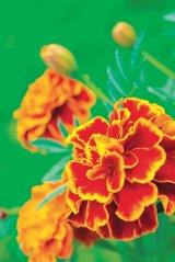 Plantele toamnei: CRĂIŢELE (Tagetes patulaia)