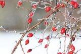 Top 5 al plantelor care ridică imunitatea: Cătina, măceşele, tescovina, muşetelul şi teiul (I)
