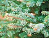 Reţetele d-lui farmacist BOBARU: Leacuri din bradul de Crăciun