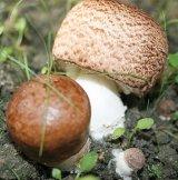 Ciupercile medicinale