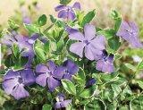 Planta lunii APRILIE: SASCHIUL (Vinca Minoris)