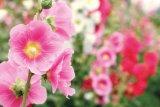 PLANTELE VERII - Drăguţa Nalbă