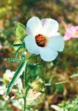ZĂMOŞIŢA, buruiana rinichilor (Hibiscus trionum)