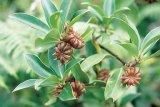 ANASONUL - aroma sănătătii