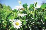 Florile lui Irinke