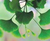 Despre Ginkgo biloba sau Arborele Sfânt al vieţii
