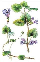 ROTUNGIOARA (Glechoma hederacea)