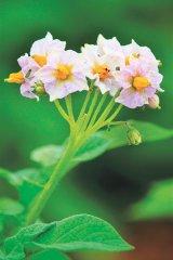 Tratamente cu flori şi fructe verzi de cartofi