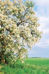 Reţetele domnului Bobaru: când salcâmii înfloresc