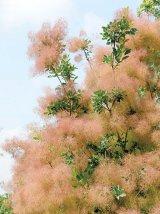 SCUMPIA (Cotinus Coggygria)