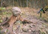 Din tainele arborilor multiseculari