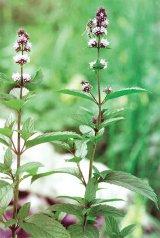 Din reţetele domnului farmacist Bobaru: Plante aromatice - MENTA