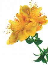 Reţete cu ierburi şi flori: Sunătoarea
