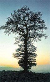Copacii care fac minuni