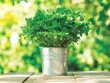 Din reţetele domnului farmacist Bobaru: Plante aromatice - BUSUIOCUL