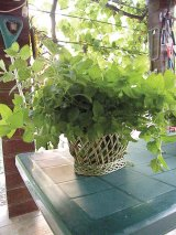 Din reţetele domnului farmacist Bobaru: Plante aromatice - ROINIŢA (lămâiţa, iarba stuparilor)