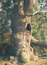Stejarul din Videle
