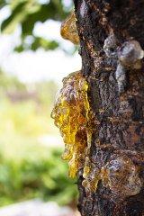 Sanitarii pădurilor: BRADUL şi PINUL