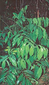 Călătorie în lumea de dincolo - Plantele halucinogene