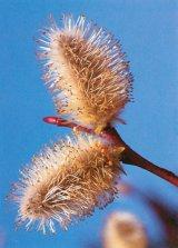 Din reţetele domnului farmacist Bobaru: SALCIA (Salix alba)