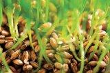 Cura cu grâu încolţit