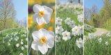 Flori de leac: Narcisa şi Lăcrămioara