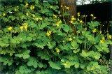 ROSTOPASCA (Chelidonium majus)