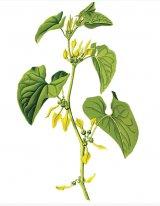 Din reţetele domnului farmacist Bobaru: Mărul-lupului (Aristolochia clematitis)