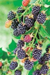 Din reţetele domnului farmacist Bobaru: Sănătate cu frunze verzi (I) - ZMEURUL şi MURUL