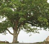 Stejarul Diavolului