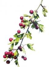Fructele de păducel - medicamentul nr. 1 în bolile cardiovasculare