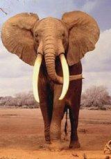 Elefanţii nemuritori şi sinuciderea celulară