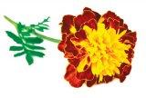 Remedii din plante contra hipertensiunii