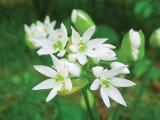 Din reţetele domnului farmacist Bobaru: LEURDA (Allium ursinum)
