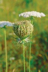 Seminţele - forţele prea puţin cunoscute ale naturii (II)