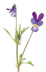 Spaima alergiei de primăvară: PANSELUŢA SĂLBATICĂ
