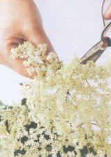 Medicamente din flori de soc