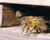 Despre tainele albinăritului, cu terapeutul ION BOBESCU din Suştra, Timiş