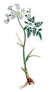 Reţete culinare cu rădăcini