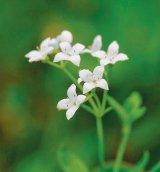 Plantele medicinale ale lunii iunie