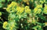 Din reţetele domnului farmacist Bobaru: CREŢIŞOARA (Alchemilla vulgaris)