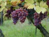 Reţete de sănătate cu vin