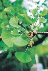 """Din nou, despre o plantă """"minune"""": GINKGO BILOBA"""